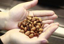 dinh dưỡng hạt thông